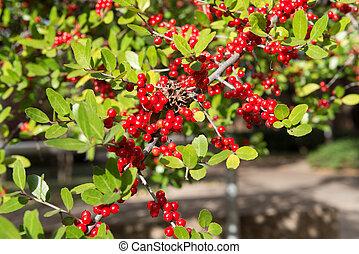 red rowan on green leaf branch