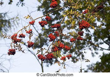 Red rowan