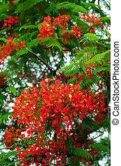 red Royal Poinciana tree