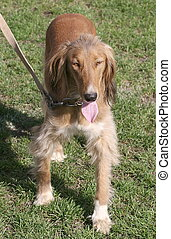 Red Russian wolfhound