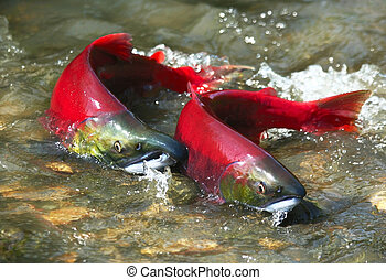 Wild male and female red salmon in river before spawning in symmetric position