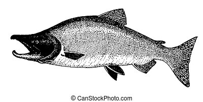 Red Salmon - Red or Sockeye Salmon Oncorhynchos nerka Pen-...
