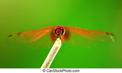 Red Scarlet Darter Dragonfly Insect Footage