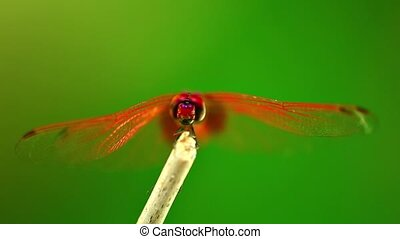 Red Scarlet Darter Dragonfly Macro Insect Footage