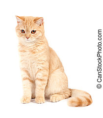 Red Scottish fold cat