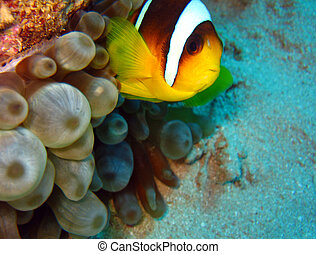 Red Sea Anemonefish, Ras Mohammed, Egypt