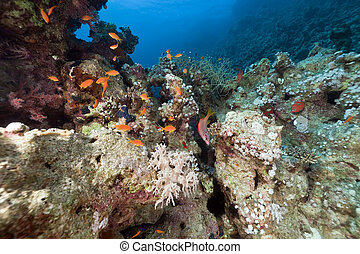 Red Sea coral reef and fish.