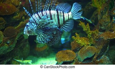 Red Sea Lionfish swimming in the aquarium with ocean water