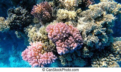Red sea. Multicolored corals of the Red Sea