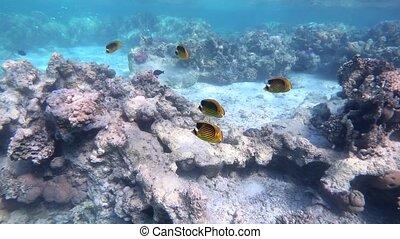 Red Sea Raccoon Butterflyfish Pantodon buchholz. Marine life in Marsa Alam, Egyppt