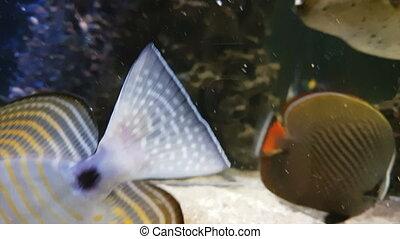 Red Sea sailfin tang - Zebrasoma desjardinii in beautifully...