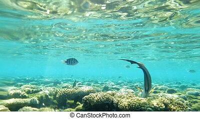 Red Sea, Sohal Surgeonfish Eating Coral Reef Underwater, Slow Motion