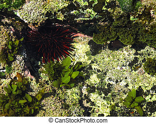 red sea urchin in a tide pool in east australia hiding from the sun