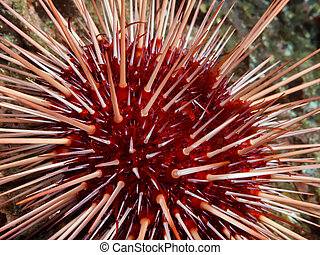 Red Sea Urchin (Strongylocentrotus franciscanus)