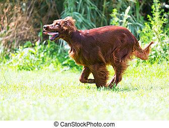 Red Setter running on grass