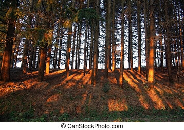 red shadows in a forest at sunset