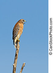 Red-shouldered Hawk (Buteo Lineatus) - Adult red-shouldered ...