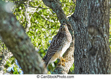 Red-shouldered Hawk Buteo lineatus in a tree in Windermere Florida camouflaged and matching perfectly the tree