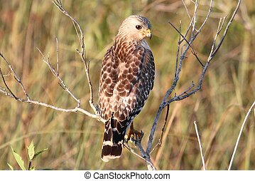 Red-shouldered Hawk (Buteo lineatus) in the Florida ...