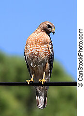 Red-shouldered Hawk (Buteo lineatus) on a wire in the ...