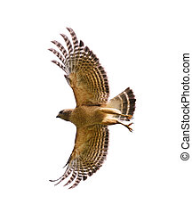 Red Shouldered Hawk In Flight,Isolated On White
