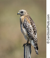 Red-shouldered Hawk Perched on Fence Post - Florida