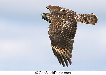 Red-shouldered Hawk - Immature Red-shouldered Hawk soaring...