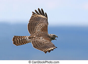 Red-shouldered Hawk calling while flying over the mountains
