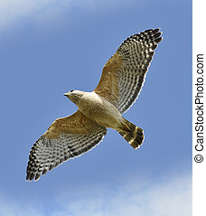 Red-shouldered Hawk In Flight