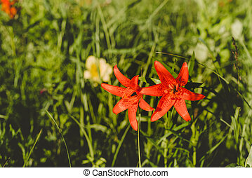 Red Siberian lily in a grass