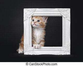 Red silver Maine Coon kitten on black background