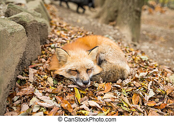 Red sleeping with autumn leaves