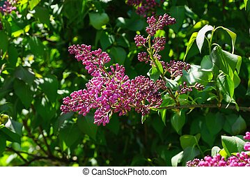 red small flowers of lilac on a branch with green leaves in the sunlight