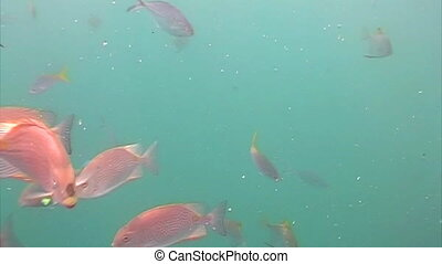 Red snapper gather together in a large school