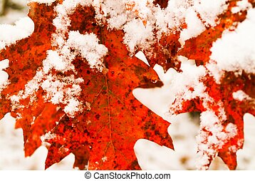 Red Snow Oak - first snow on oak tree leaves