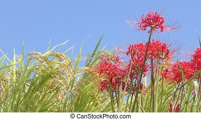 Red spider lily - Bright red spider lily flower in front of...