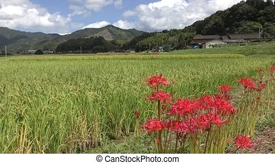 Red spider lily flowers in front of rice field and hill...