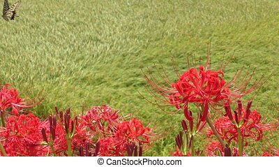 Red spider lily flowers in front of overlooking rice field