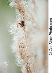 Red spotted ladybug on a branch of fluffy dry grass. Selective focus macro shot with shallow DOF