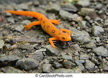 Red-Spotted Newt - Close-up of Red Spotted Eastern Newt (Red...
