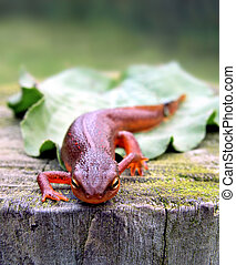 Red-Spotted Newt on tree stump