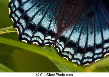 Red Spotted Purple Hindwing Detail #1