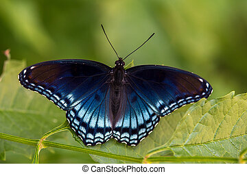 Red Spotted Purple on Leaf #1