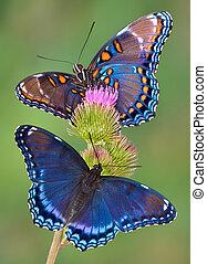 red-spotted, roxo, borboletas