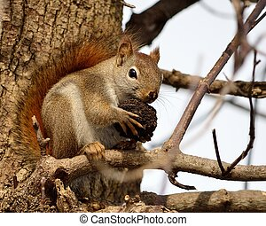 Red Squirrel - A red squirrel perched in a tree eating a...