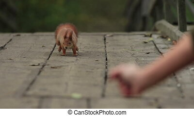 Red Squirrel and Woman's Treat - Fat red squirrel runs by a...