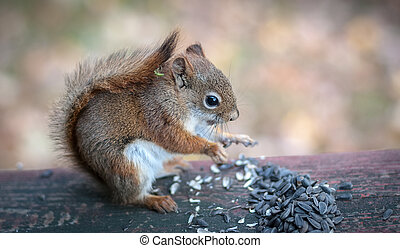 red squirrel sits down to eat seeds.