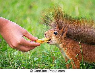 Red squirrel eating apple. Sciurus vulgaris.