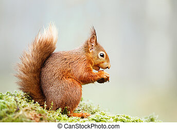 Red squirrel eating nut on a mossy log