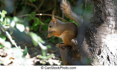 Red Squirrel Eating Nut Sitting on a Tree Trunk. Close up.